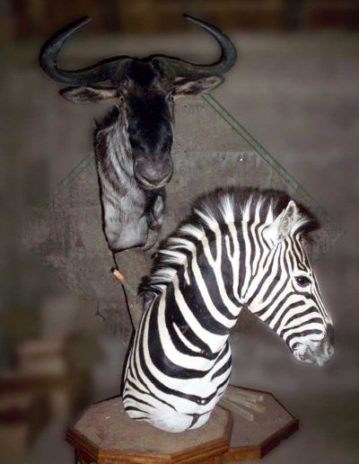 estelle-nel-pedestal-mount-taxidermy-11