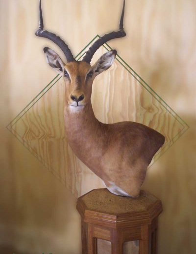 estelle-nel-pedestal-mount-taxidermy-4