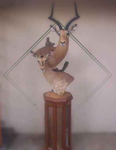estelle-nel-pedestal-mount-taxidermy-7