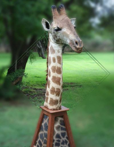 estelle-nel-pedestal-mount-taxidermy-8