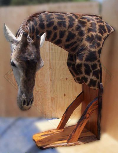 estelle-nel-pedestal-mount-taxidermy-9