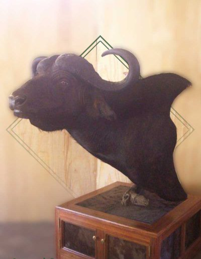 estelle-nel-pedestal-mounts-taxidermy-1