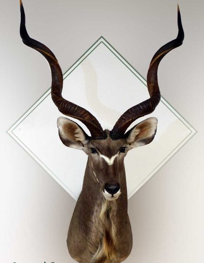 estelle-nel-shoulder-mounts-taxidermy-11