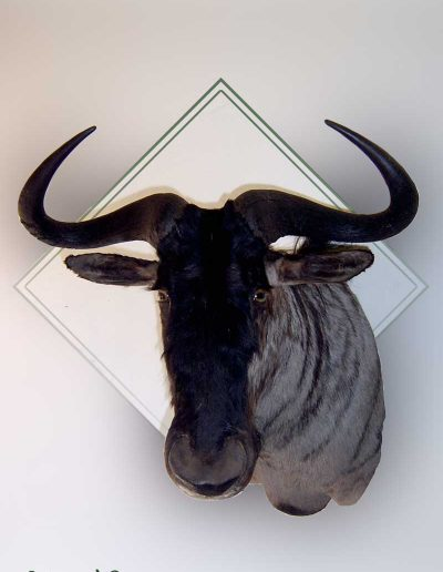 estelle-nel-shoulder-mounts-taxidermy-3