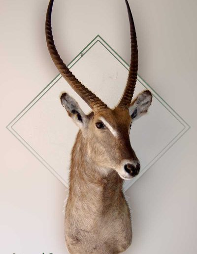 estelle-nel-shoulder-mounts-taxidermy-6