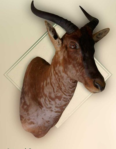 estelle-nel-shoulder-mounts-taxidermy-7