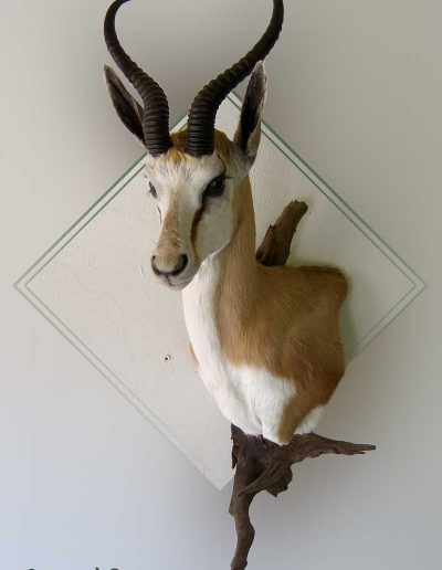 estelle-nel-shoulder-mounts-taxidermy-8